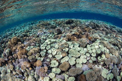 Healthy Corals in Shallows Stock Photo