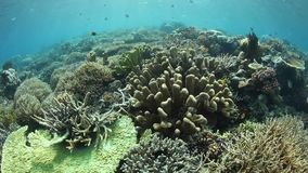 Healthy reef-building, fragile corals in Raja Ampat. Healthy corals thrive in Raja Ampat, Indonesia. This beautiful and remote region is known for its astounding stock video