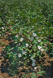 Healthy Cotton Plant Loaded with Bolls Stock Image