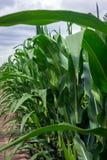 Healthy crop of corn in rural areas Royalty Free Stock Photos