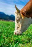Healthy Dairy Cattle Cow In Meadow stock photography
