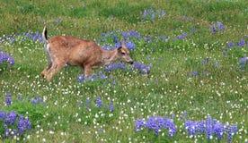 Healthy deer grazing Stock Photography