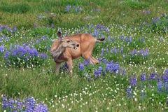Healthy deer grazing Stock Photo
