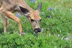 Healthy deer grazing Stock Images