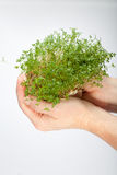 The healthy diet. Fresh cress in the hand isolated on white background Royalty Free Stock Images