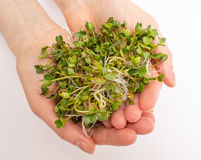 The healthy diet. Radish sprouts  on white. The healthy diet. Fresh radish sprouts Stock Image
