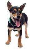 Healthy dog Stock Photography