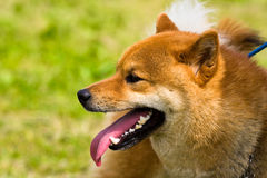 Healthy dog portrait Stock Photography
