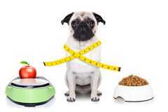 Healthy dog. Healthy pug dog beside a scale , bowl and measuring tape around waist isolated on white background Royalty Free Stock Photography