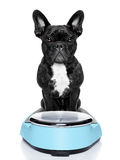 Healthy dog. On scale wondering about weightloss and how to solve this problem, isolated on white background Royalty Free Stock Photography