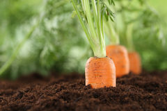 Healthy eating carrots in vegetable garden. Healthy eating ripe carrots in vegetable garden in nature Stock Photography