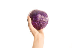 Healthy eating and diet topic: human hand holding a red cabbage isolated on a white background in the studio, first-person view. Shot royalty free stock photography