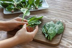 Healthy eating, dieting, vegetarian food and people concept - close up of woman hands holding spinach at home Royalty Free Stock Photo