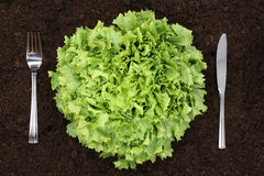 Healthy eating lettuce in vegetable garden Royalty Free Stock Images
