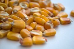Healthy ecological corn Stock Photo