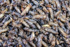 Healthy exotic food fried insects in local street market in Thailand , Mole crickets or gryllotalpidae stock image
