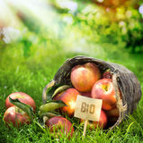 Healthy farm fresh apples graded Bio. Healthy farm fresh apples graded and labeled Bio produced without chemicals in a wicker basket in a lush orchard with rays stock image