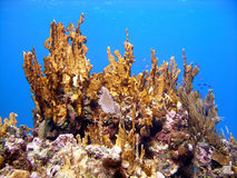 Healthy fire coral. A large healthy and bright orange fire coral tops this section of reef covered in other types of interesting corals, sponges, sea fans and Royalty Free Stock Images