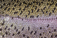 Healthy Fish Scales- Macro Shot Royalty Free Stock Image