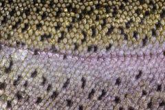 Healthy Fish Scales- Macro Shot Royalty Free Stock Image