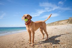 Labrador Retriever fetching a tennis ball royalty free stock image