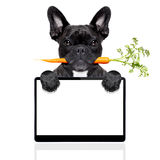 Healthy food dog. Healthy food eating french bulldog with vegan or vegetarian carrot in mouth,behind blank pc computer tablet screen , isolated on white royalty free stock photo