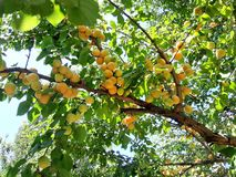 Healthy food for wellness. Apricot on the tree. Photos in natural environment. Color image. Healthy food for wellness. Apricot on the tree. Photos natural stock images