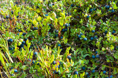 Healthy food, wild blueberries growing on a meadow, Iceland. Healthy food, wild blueberries growing on a meadow, Northern Iceland Royalty Free Stock Photos