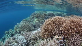 Healthy and Fragile Coral Reef in Raja Ampat stock video