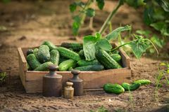 Healthy and fresh cucumbers at a greenhouse in wooden box. In summer Royalty Free Stock Photo