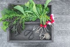 Healthy fresh salad ingredients displayed on old aged wooden boards with several varieties of fresh leafy lettuce and a bunch of c. Rispy radishes. The concept Royalty Free Stock Images