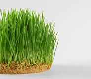 Healthy fresh wheat grass with roots on background Royalty Free Stock Photo