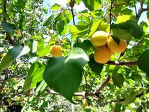 Healthy fruit for a healthy diet. Apricot in agriculture. Photos in natural environment. Color image stock image