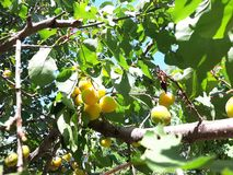 Healthy fruit for a healthy diet. Apricot in agriculture. Photos in natural environment. Color image stock photo