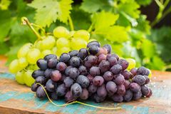 Healthy fruits Red and White wine grapes in the vineyard, dark g. Rapes/ blue grapes/wine grapes, bunch of grapes on the wooden table ready to eat, sunny day stock images
