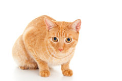 Free Healthy Ginger Cat Stock Photo - 27182690
