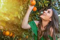 Healthy girl in orange orchard. Pretty young woman, outdoors at sunset in a orange orchard, smiling and picking oranges. Happiness and healthy lifestyle concept royalty free stock photography