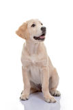 Healthy golden labrador puppy Stock Photos