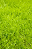 Healthy grass. Fresh and healthy green grass Stock Images