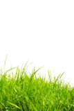 Healthy grass. Fresh and healthy green grass against a white background with copy space Royalty Free Stock Image