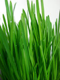 Healthy grass Royalty Free Stock Photography