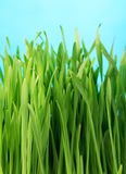 Healthy grass. Spring healthy grass on the blue background Royalty Free Stock Photography