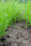 Healthy grass growing in soil Stock Photography