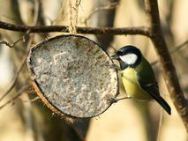 Great tit ( parus major)and coconut Royalty Free Stock Photo