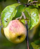 Healthy green apple Royalty Free Stock Photography