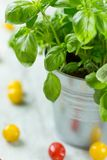 Healthy green basil plant in a pot with tomatoes Royalty Free Stock Photo
