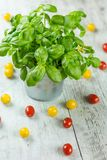 Healthy green basil plant in a pot with tomatoes Stock Photos