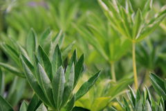 Healthy green leaves of a Lupine Royalty Free Stock Image