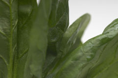 Healthy Green Spinach Leaves Stock Images