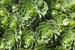 Healthy green succulent plant crassulaceae. A healthy green succulent plants often called hen and chicks Royalty Free Stock Images